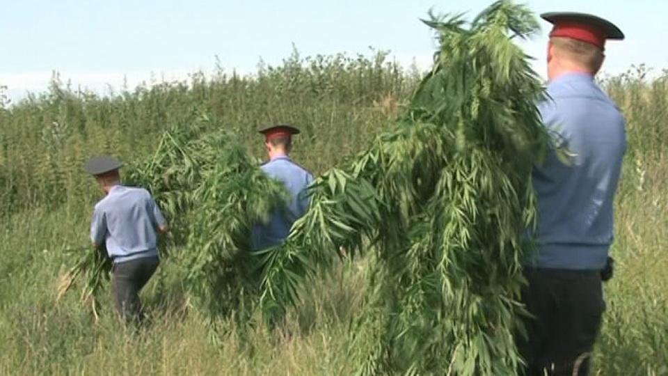 Невинномысск конопля марихуана в турции