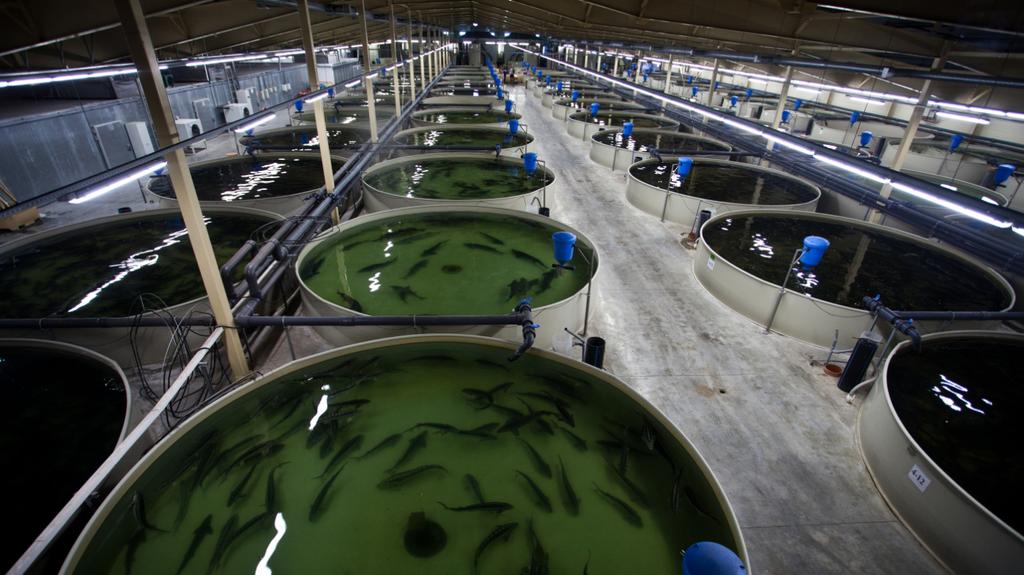 Производство выращивания рыбы 59