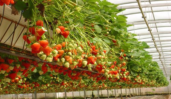 О выращивании ягод круглый год