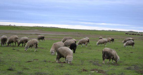 Овцекрады задержаны полицейскими Нефтекумска по горячим следам