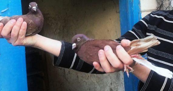Житель Новопавловска украл голубей и подарил их знакомым