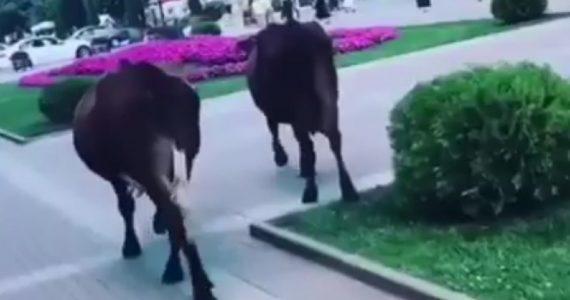 По Курортному бульвару Кисловодска прогуливались коровы. Видео