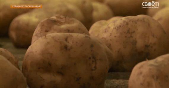 На Ставрополье ударными темпами проходит уборка картофеля