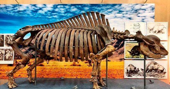 Юкки, Ори или Шура. Ставропольцы придумывают имя для скелета древнего носорога