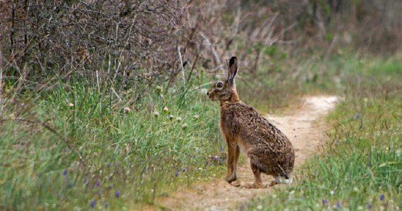 В 45 охотничьих угодьях Ставропольского края запретили охотиться на зайца-русака