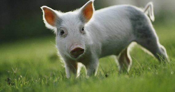 Новейшая вакцина может спасти свиноводов Ставрополья от АЧС