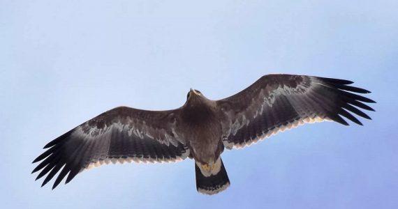 Бёрдвотчеры заметили в Железноводске краснокнижного орла
